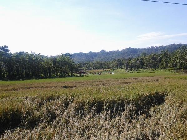 Pemandangan area pesawahan di Desa Suriamedal