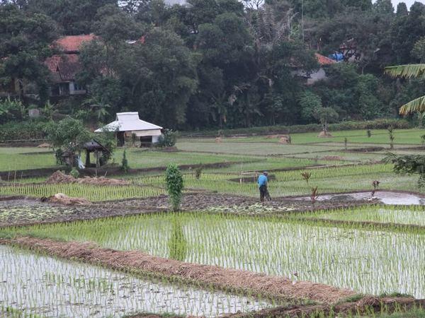 Salah satu areal pesawahan di Desa Bojongloa (foto oleh KKNM Unpad Desa Bojongloa 2012)