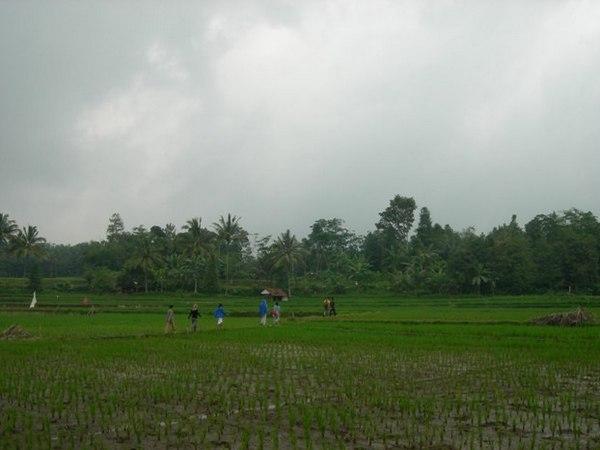 Areal pesawahan di Desa Conggeang Wetan (foto oleh KKNM Unpad 2011)