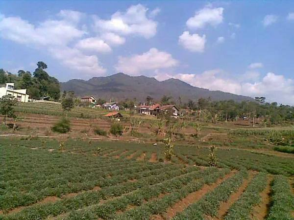 Hamparan ladang dengan tanaman Ubi Cilembu (foto: facebook Reni Pujiastuti)