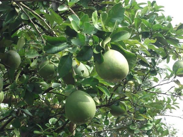 Jenis jeruk besar varietas unggilan Cikoneng (foto: facebook Desa Cikoneng)