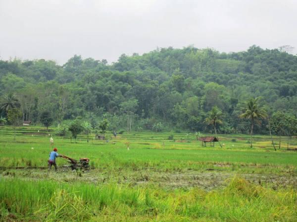 Potret kawasan pesawahan yang berlokasi di Desa Padajaya (foto oleh KKNM Unpad 2013)