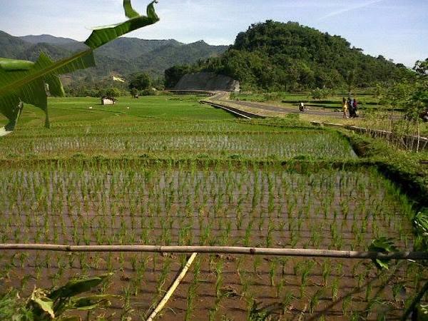 Panorama pesawahan di Desa Cikareo Utara (foto: facebook)