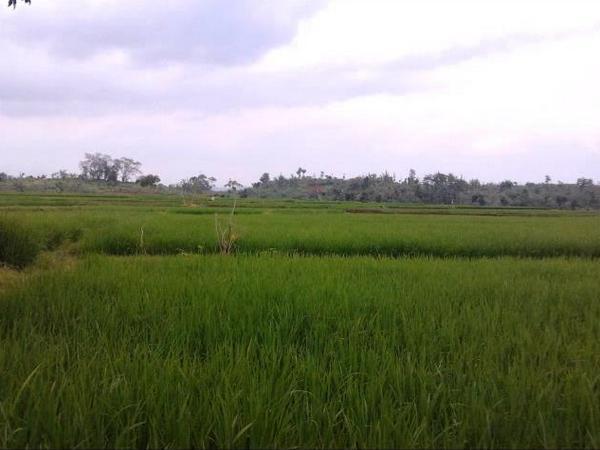 Panorama alam pesawahan Desa Sukaratu (foto: Youtube)
