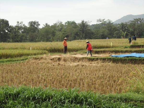 Panorama alam pesawahan Desa Cigentur (foto: KKNM Unpad)