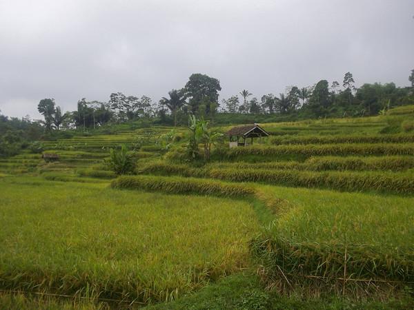 Panorama alam pesawahan (foto: internet)
