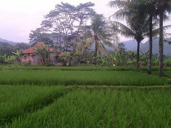 Panorama pesawahan Desa Darmaraja (foto: facebook Aria Chandra)