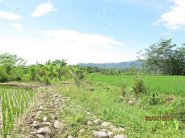 Panorama pesawahan di Desa Ranggasari (foto: KKNM Unpad Ranggasari)