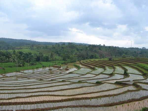 Panorama alam pesawahan di Desa Cilopang (foto: KKNM Unpad Cilopang)