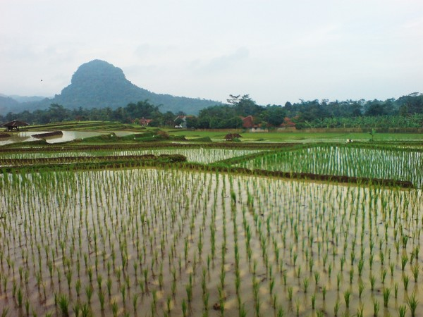 Panorama pesawahan Desa Kertaharja (foto: KKNM Unpad)