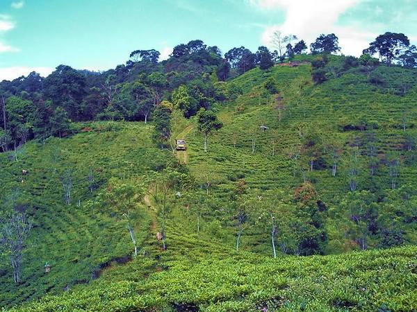 Salah satu sudut pemandangan perkebunan teh Margawindu