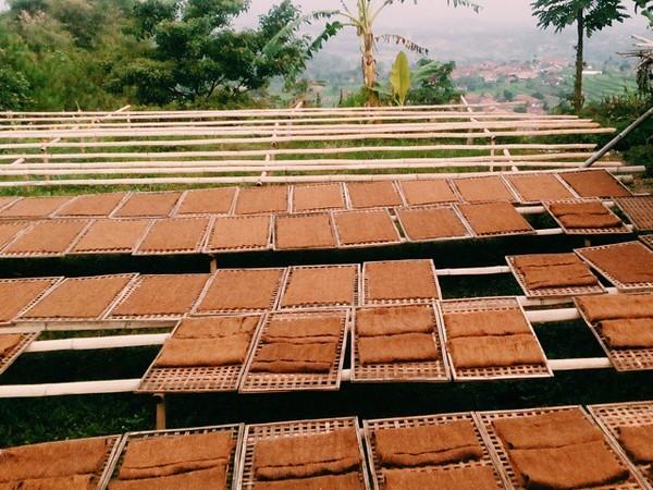 Pengolahan daun Tembakau (foto: Instagram @rizkirianti)