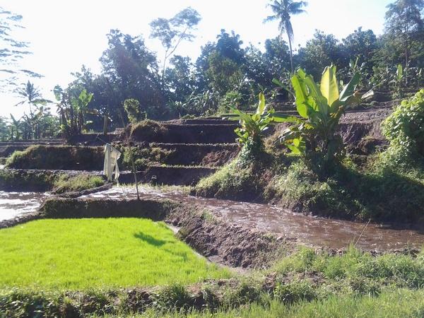 Lahan pesawahan di Desa Pamekarsari (foto: ist)