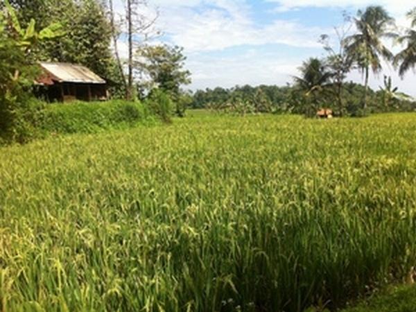 Salah satu wilayah pesawahan di Desa Cibeureuyeuh (foto oleh KKNM Unpad 2011)
