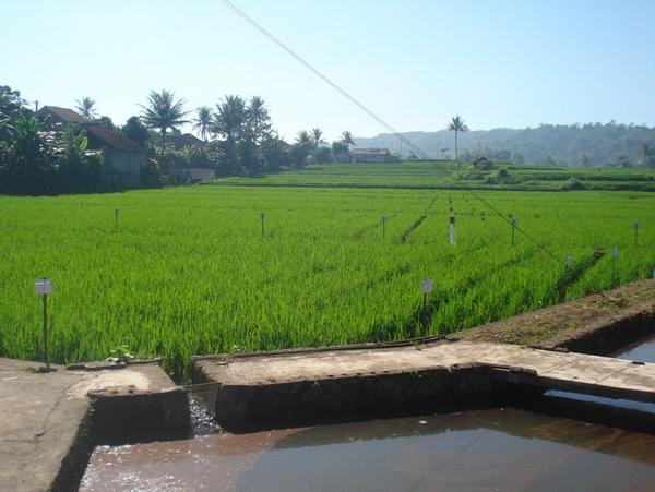 Pesawahan di Desa Cimuja (foto: KKNM Unpad)