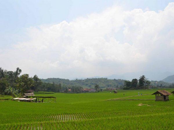Pesawahan Desa Serang (foto: Desa Serang)
