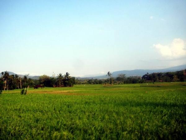 Pesawahan di Desa Cipaku (foto: Save Jatigede)