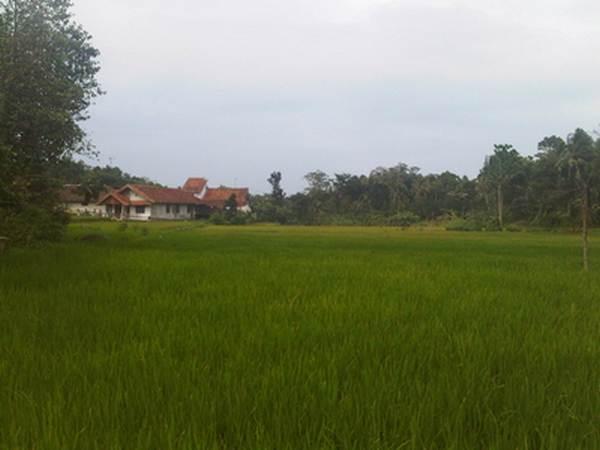 Pesawahan di Desa Cipamekar (foto oleh KKNM Unpad 2011)