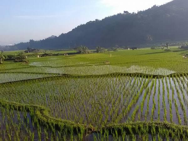 Pesawahan di Desa Sukagalih (foto: facebook Tenjolaya)