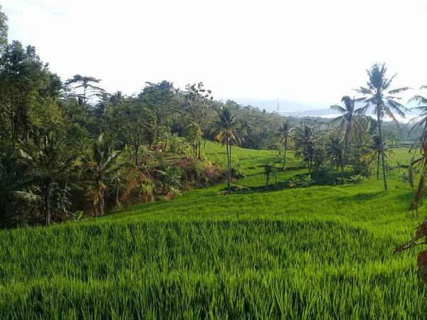 Pesawahan Tamansari (foto: facebook Abas Sukaeurih Ibun Tea)