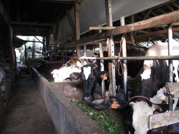 Peternakan sapi di Desa Haurngombong (foto: facebook)