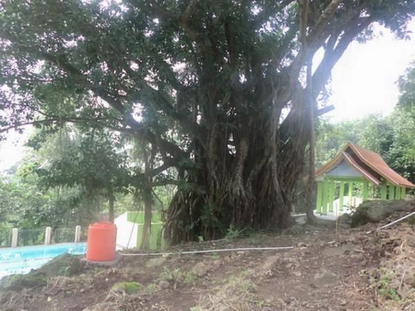 Pohon Karet Gajah (foto oleh Objek Wisata Mata Air Cipulus)